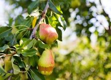 Зрелая груша на ветви дерева в саде Стоковые Фотографии RF