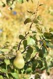 Зрелая груша осени Стоковые Фотографии RF