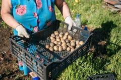 Зрелая женщина засаживая картошки в ее саде Стоковое Фото
