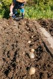 Зрелая женщина засаживая картошки в ее саде Стоковое Изображение RF