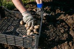 Зрелая женщина засаживая картошки в ее саде Стоковые Фото