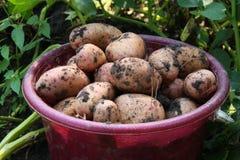 Зрелая картошка Стоковые Фотографии RF