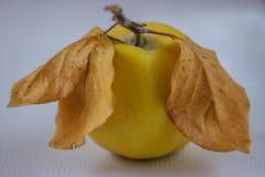 Зрелая очень вкусная айва с желтым цветом выходит на белую предпосылку Стоковая Фотография