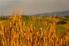 Зрелая пшеница в июне стоковая фотография