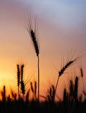 зрелая пшеница захода солнца Стоковые Изображения RF