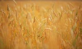 зрелая пшеница Стоковые Изображения