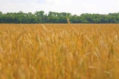 зрелая пшеница Стоковое Изображение