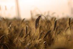 Зрелая рожь в поле на заходе солнца стоковое фото rf