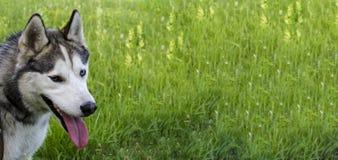 Зрелая сибирская лайка на предпосылке зеленой травы Кабель имеет серое и белое мех, различные глаза голубо и коричнево стоковое изображение