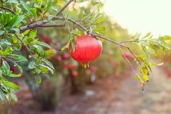 Зрелая смертная казнь через повешение плодоовощ гранатового дерева на ветви дерева в саде Свет захода солнца мягкий селективный ф Стоковое фото RF