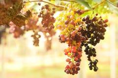 зрелое виноградин красное Стоковое фото RF