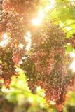зрелое виноградин красное Стоковое Изображение