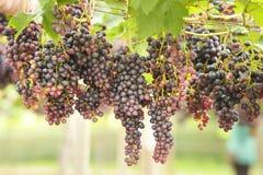 зрелое виноградин красное Стоковое Фото