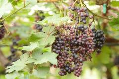 зрелое виноградин красное Стоковые Изображения RF