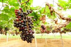 зрелое виноградин красное Стоковая Фотография RF
