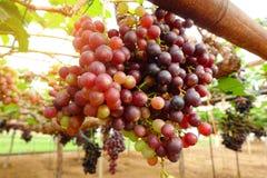 зрелое виноградин красное Стоковые Фотографии RF
