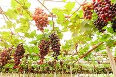 зрелое виноградин красное Стоковые Фото