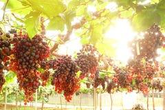зрелое виноградин красное Стоковые Изображения
