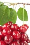 зрелое вишни свежее Стоковые Изображения