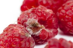 зрелое естественных поленик предпосылки красное Стоковое Изображение