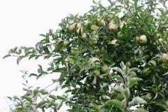 Зрелое золотое - очень вкусные яблоки на ветви дерева готовой быть выбранным Стоковые Изображения RF