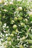 Зрелое золотое - очень вкусные яблоки на ветви дерева готовой быть выбранным Стоковое фото RF