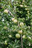 Зрелое золотое - очень вкусные яблоки на дереве готовом быть выбранным Стоковая Фотография RF