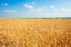 Зрелое золотое пшеничное поле в летнем времени Стоковое Изображение