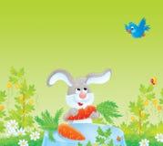 зрелое серого кролика моркови красное Стоковая Фотография RF