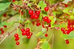 зрелое смородины bush красное стоковая фотография rf