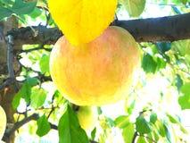Зрелое Яблоко стоковая фотография