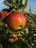 Зрелое яблоко Стоковые Изображения