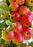 зрелое яблок красное стоковое изображение
