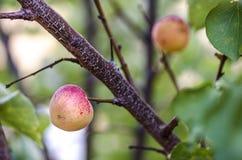 Зрелые абрикосы растут на ветви среди зеленых листьев Armeni сливы Стоковое Изображение
