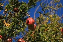 Зрелые венисы на ветви Стоковые Фото