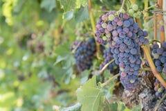 Зрелые виноградины вина на виноградном вине в винограднике Стоковое фото RF