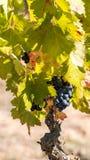Зрелые виноградины в саде, Siurana, Catalunya, Испании Конец-вверх вертикально стоковые изображения rf