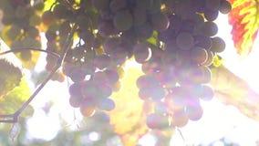 Зрелые виноградины в солнце акции видеоматериалы