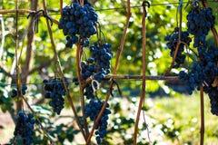 Зрелые виноградины 11 Стоковые Фото