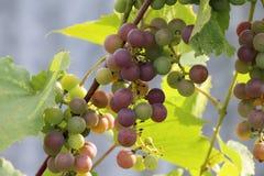 Зрелые виноградины/ стоковое изображение