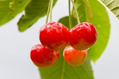 Зрелые вишни вися на дереве, как раз перед они получили выбранными Стоковое Фото