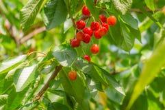 Зрелые вишни в смертной казни через повешение пука от ветви с зелеными листьями Стоковые Изображения