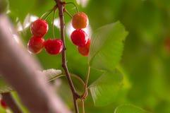 Зрелые вишни в смертной казни через повешение пука от ветви с зелеными листьями Стоковое Изображение