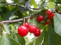 Зрелые вишни на ветви вишневого дерева Стоковые Изображения RF
