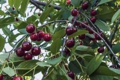 Зрелые вишни на ветвях Стоковое Изображение RF