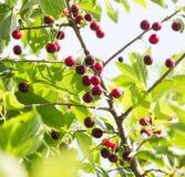 Зрелые вишни на дереве в природе Стоковая Фотография