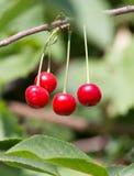 Зрелые вишни на дереве в природе Стоковое Изображение