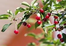 Зрелые вишни на дереве в природе Стоковые Изображения RF