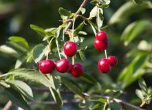 Зрелые вишни на дереве в природе Стоковые Изображения