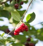 Зрелые вишни на дереве Стоковая Фотография